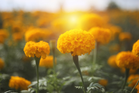 Marigold flowers blooming in the garden under the sunlight. Stok Fotoğraf