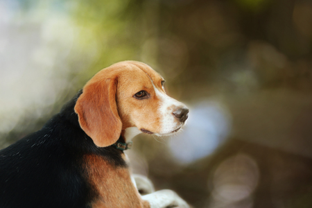 Portrait of an adorable beagle dog outdoor in fall.