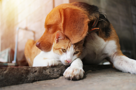Beagle dog and brown cat in warm hug on the footpath.