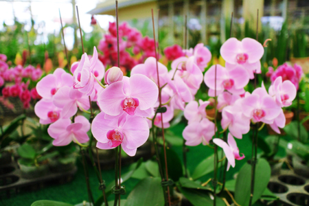 Pink phalaenopsis orchid flowers are blooming in the orchid nursery. Stok Fotoğraf