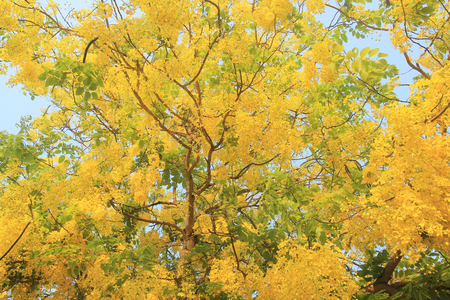 Golden Shower Tree flowers(Cassia fistula) blooming on summer in Thailand.
