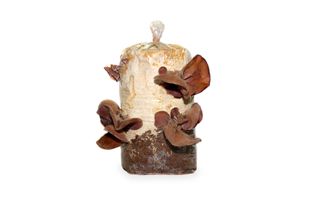Jews Ear Mushroom growing on the mushroom cultivation supplies bag,isolated on white background.