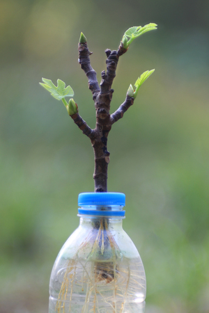 Rooting method for fig tree branch with water in plastic bottle.