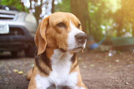 Beagle dog sits on the park outdoor ,some mosquito bite on his face.