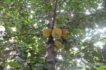 Jack fruit tree with its fruits ,some are ripen ready to cut.