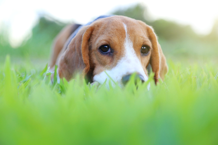 Beagle dog lying down on the green grass outdoor in the park. Stok Fotoğraf