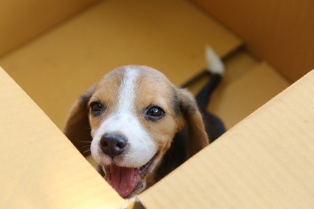 Puppy (Beagle dog) in a brown box,look up to see the owner.