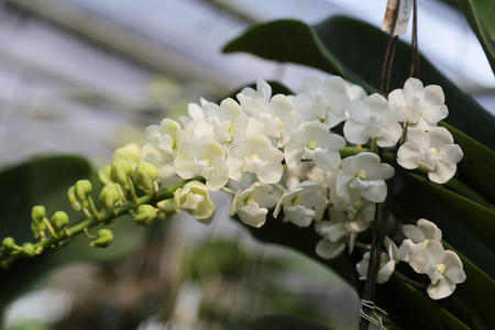Rhynchostylis gigantea white color blooming in the garden. Stok Fotoğraf