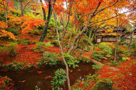 japanese maple tree: Autumn Japanese garden with maple in Kyoto,Japan