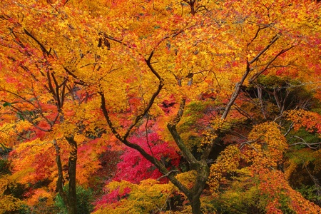 Japanese maple leaves in autumn colors in Kyoto,Japan photo