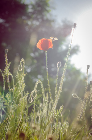 Single poppy flower and bee against the sunlight photo
