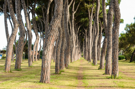 pinetree: The italian park view - pine-tree trunks. Stock Photo