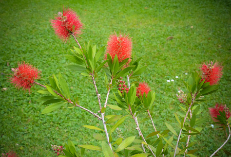 myrtle green: Callistemon plant, myrtle family, in Lugano Italy