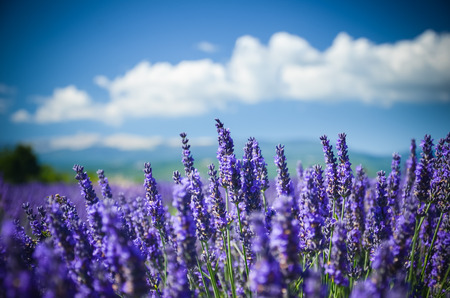 lavendin: Lavender bush in summer Provence, France