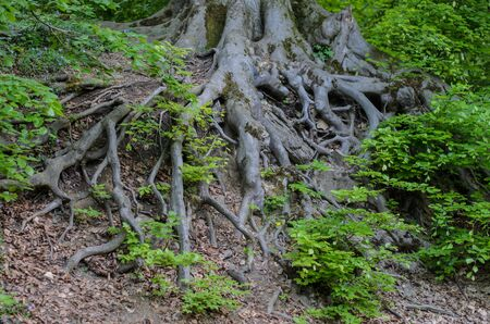 The roots of a big tree on a hillside in city park