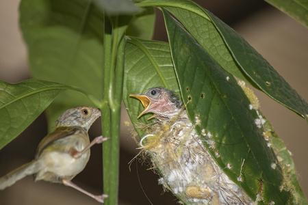 Common Tailor bird ( Orthotomus sutorius ) feeding the baby bird. Imagens