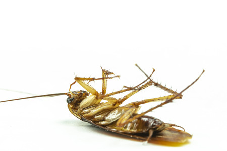 Close up dead cockroach isolate on white background.