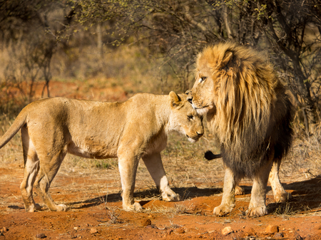 male lion: African male lion and lioness standing together facing each other