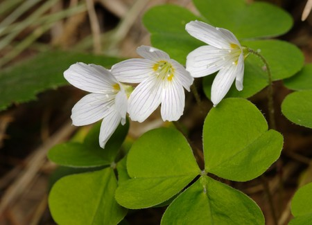 sour clover: Woodsorrel with flowers, closeup, isolated over white