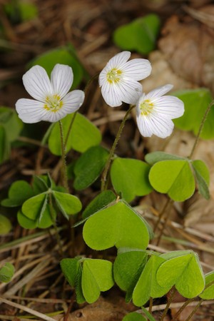 Woodsorrel with three flowers, fresh leaves, closeup photo