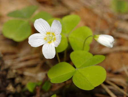 sour clover: Woodsorrel with two flowers, fresh leaves, closeup