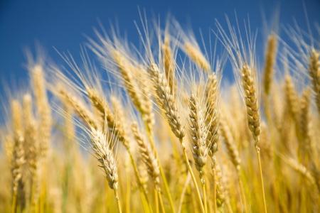 wheat harvest: Matura grano dorato su un cielo blu