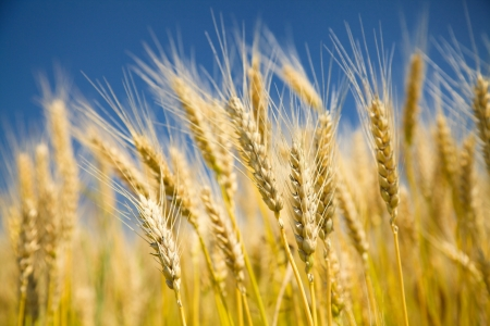 Ripe golden wheat on a blue sky photo