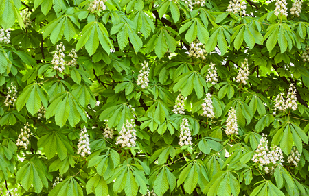 Horse chestnut blooming background, outdoor shoot Imagens
