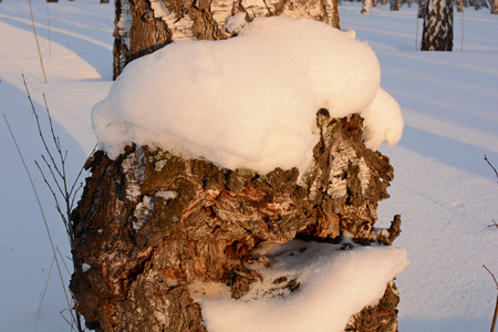 nahaufnahme: birch at sunset in winter, part of tree Stock Photo
