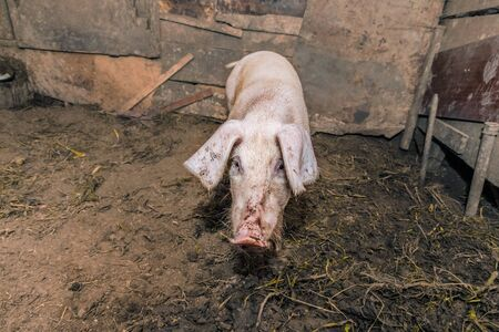One dirty pig in the barn, looking straight. Unsanitary livestock conditions 스톡 콘텐츠 - 131060892