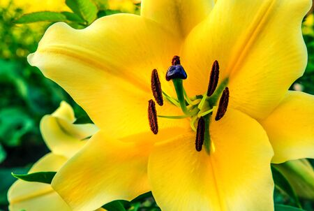 Blooming yellow lily. Bright summer background. Stamen pollen, strongly smelling flower, macro