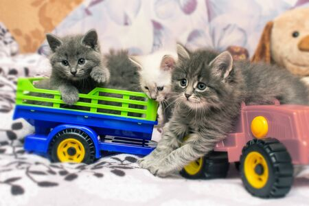 Cute gray kittens are playing with a toy car, Little pets