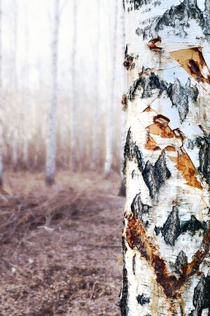 Chopped birch is not conscientious people who in a barbarous way decided to get birch sap. Damaged tree.  Nature conservation concept