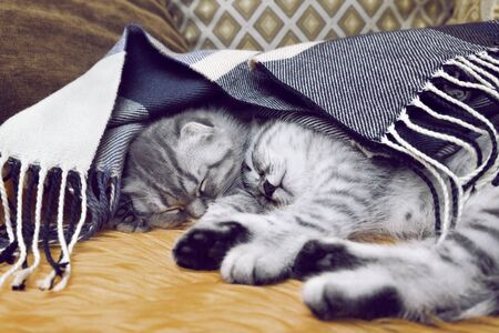 Two Scottish fold fold kittens sleep comfortably at home under a warm scarf. Archivio Fotografico