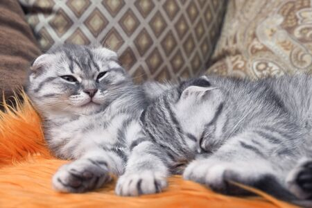 Two scottish fold kittens sleep comfortably at home on the couch Stock fotó