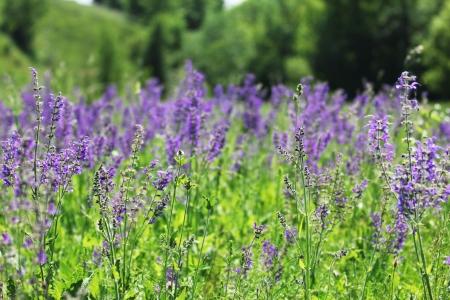 lustrous: field of beautiful wild flowers of purple