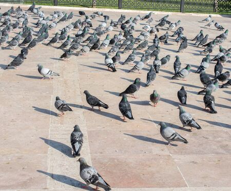 Lovely pigeon birds ,  city doves by live in an urban environment 版權商用圖片