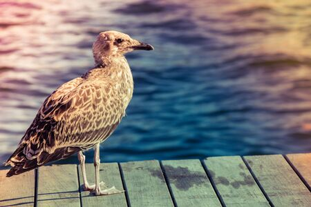 Seagull on wooden pier, sea in the background.
