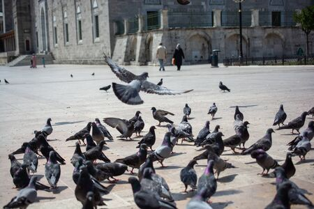 Lovely pigeon birds feed in an urban environment 版權商用圖片