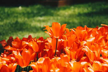 Bright colorful tulips as natural floral background 스톡 콘텐츠 - 146621389