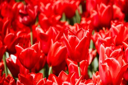 Bright colorful tulips as natural floral background