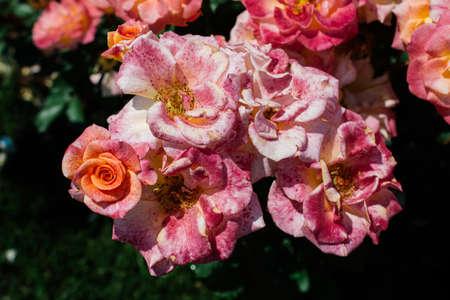 Blooming beautiful bunch of roses in spring garden Imagens