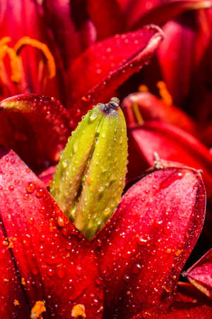 Blooming beautiful fresh lily flowers bud in view Imagens