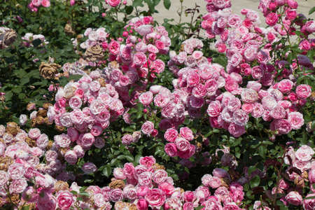 Blooming beautiful colorful roses as floral background Imagens