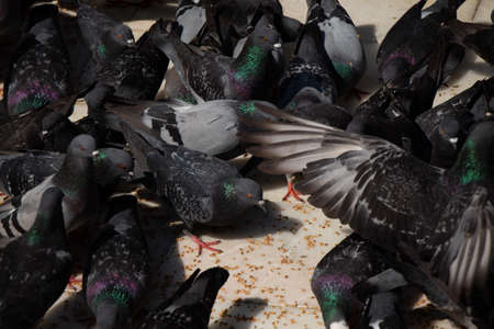 Lovely pigeon birds feed in an urban environment