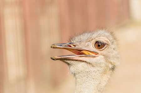 Portrait, the head of an ostrich with an open beak on a sunny summer day.