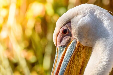 Portrait of a pelican, head with a colorful beak on a light background.