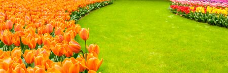 Holland, the country of tulips, the capital of beautiful colorful flowers.