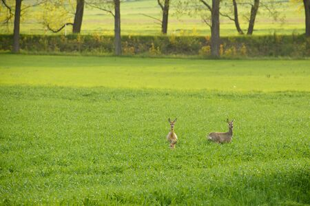 Deer resting in the meadow, they listen to the impending danger.