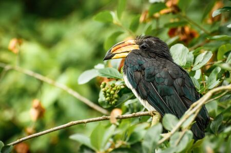 A high-pitched black hornbill bird with a large beak sits and rests among the leaves.